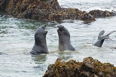 Bull Elephant Seals fighting, Piedras Blancas State Park