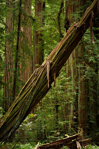 Jedediah Smith Forest in Northern Califonia  Photos by Kyle Spradley | www.kspradleyphoto.com