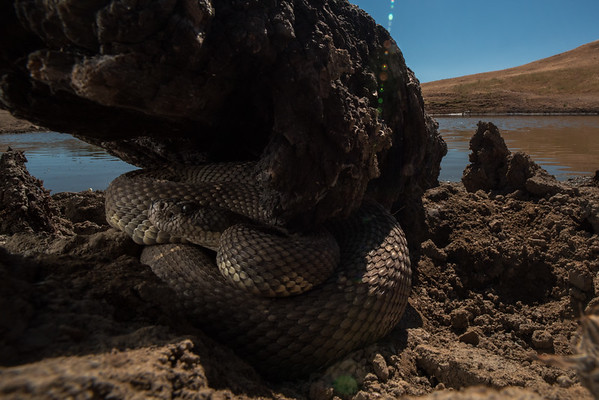 A large northern pacific rattlesnake (Crotalus oreganus) shelters underneath a log at the edge of a cattlepond. Perhaps it has picked this spot in hopes of ambushing one of the killdeer that also frequented the pond.