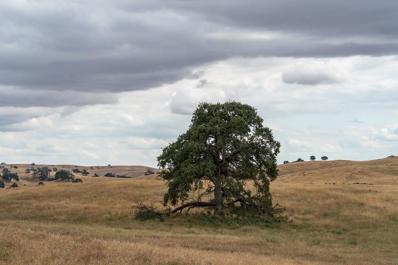 Golden Chain Highway Oak