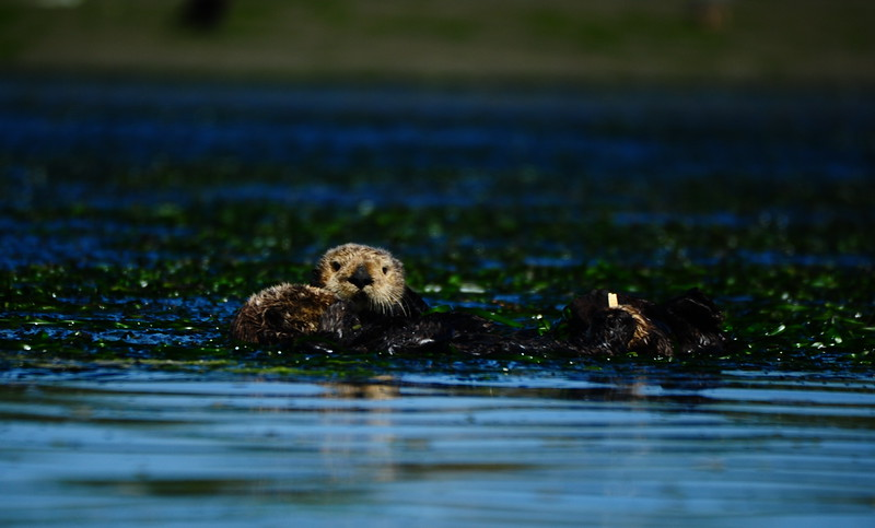 SOUTHERN SEA OTTER IN ELKHORN SLOUGH, MOSS LANDING, CA