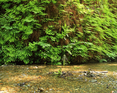 Ferns and Home Creek, Humboldt County, CA