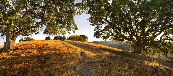 "Briones. Two Oaks. 34"" x 15"""