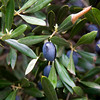 Black Olive s