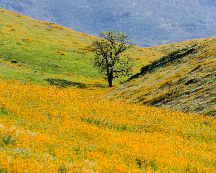 Oak Tree and Poppies, Keene, CA