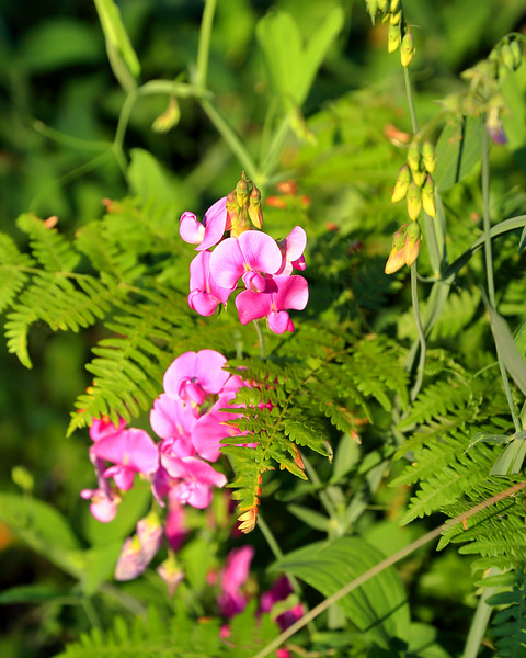Sweet Peas and Ferns, Calaveras County, CA