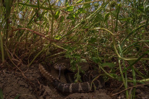 Hidden in tall grass and with a portion of its body within a rodent burrow, a rattlesnake (Crotalus oreganus) is well concealed from any potential threats.