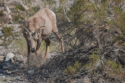 A desert bighorn sheep (Ovis canadensis nelsoni) munches on dry vegetation in Death Valley National Park.
