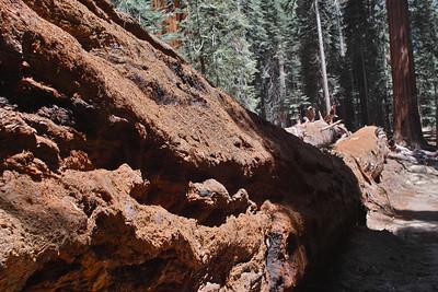 Fallen Tree 0084
