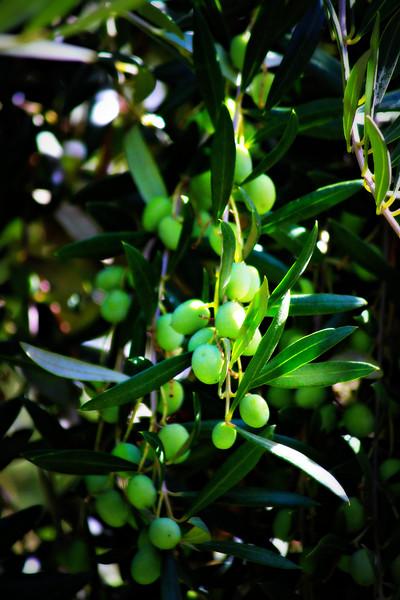 Olive Oil On The Tree
