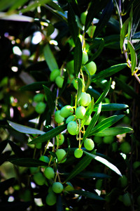Olive Oil On The Tree