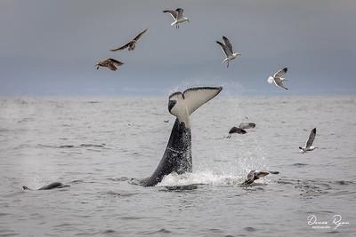 Orca Tail Thrashing (Slabing)