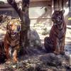 San Diego Zoo Tigers