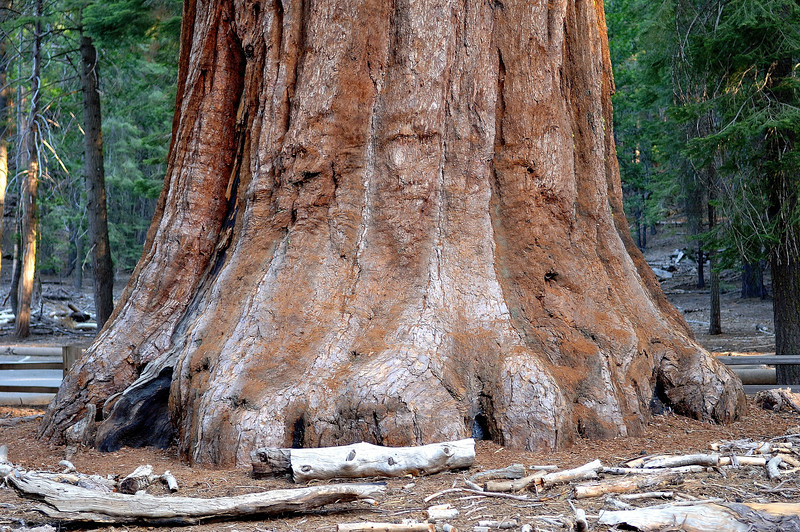 This is the real BIG FOOT. <br /> This is a Sequoia redwood<br /> Mariposa Grove, Yosemite National Park,Ca<br /> You can get a idea how big this tree is by the trees in the background<br /> Photo # 138