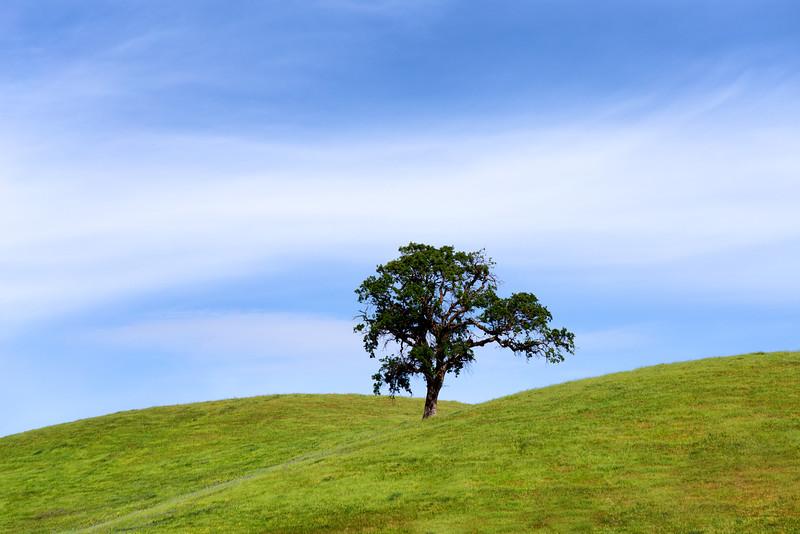 Spring Valley Oak, Contra Costa, CA