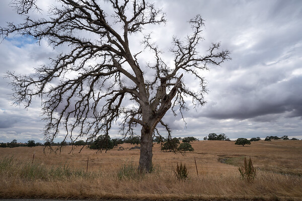 Golden Chain Highway Dead Oak