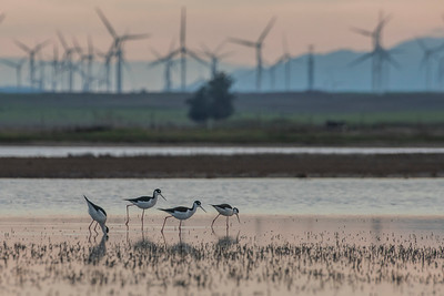 Black necked stilts (Himantopus mexicanus) foraging in a vernal pool with wind turbines in the background.