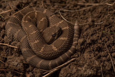A juvenile Northern Pacific rattlesnake (Crotalus oreganus) from Contra Costa County county.  Its rattle is still only a nubbin and too small to produce the rattling sound these snakes are known for.