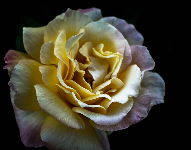 (yellow) Rose