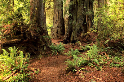 Ferns and Redwoods, Humboldt County, CA