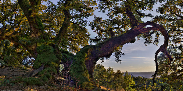 Late Afternoon with the Ancient Oaks