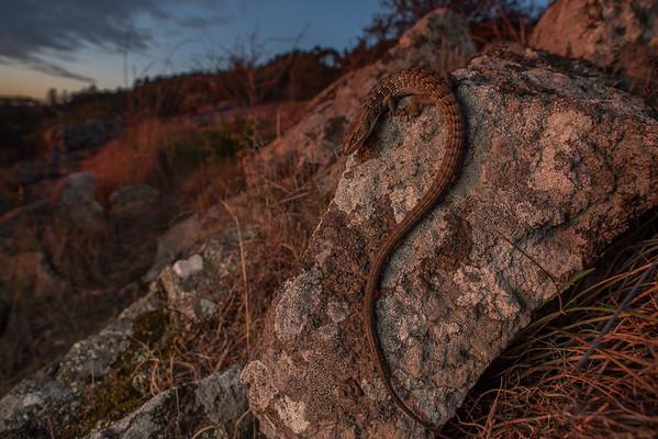 Southern Alligator lizard (Elgaria multicarinata) basking on a rocky hillside as the sun sets.