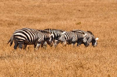 Zebras grazing, Randolph Hearst State Park
