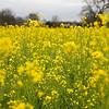 Mustard Bloom