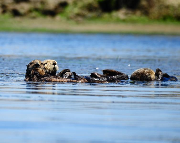 RAFT OF OTTERS IN THE SLOUGH