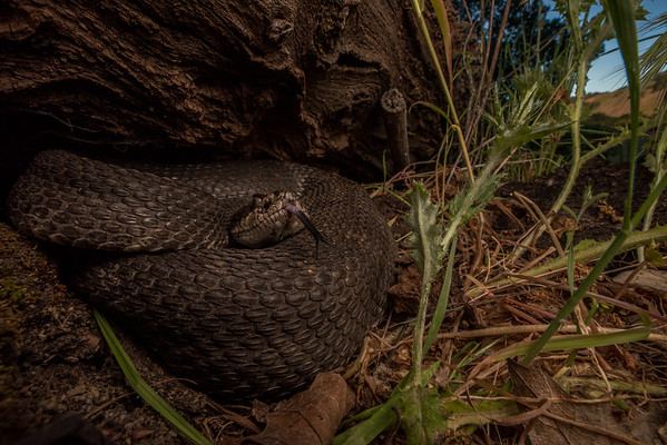 A particularly dark northern pacific rattlesnake (Crotalus oreganus) basks after eating a large meal.  Mostly hidden under a log only a portion of its body is exposed. This allows it to thermoregulate while remaining safe from predators.