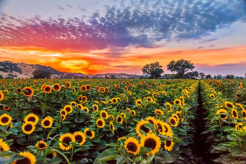 Summer Sunflower Fields