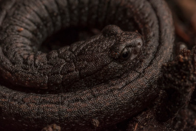 The California slender salamander (Batrachoseps attenuatus), these salamanders have some of the smallest ranges of all vertebrates usually moving less than 10 m away from their birth site throughout their lives.