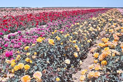 Rose Field 0030