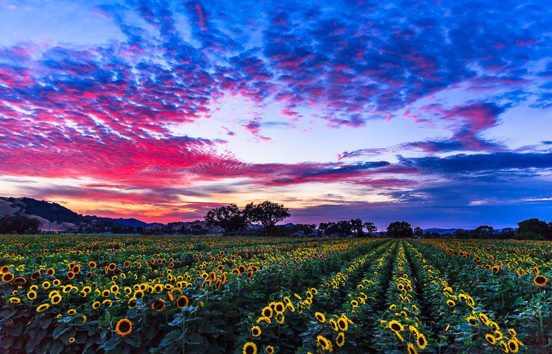Sunset Sunflower Fields