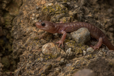 The Arboreal Salamander (Aneides lugubris) active on a rock wall in Contra Costa County.