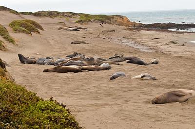 Elephant Seals, Piedras Blancas State Park