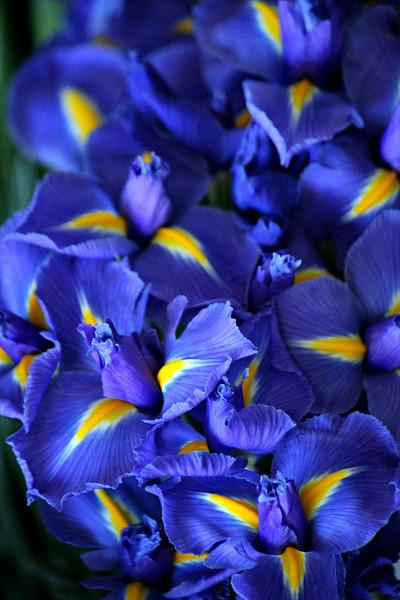 Iris You Love