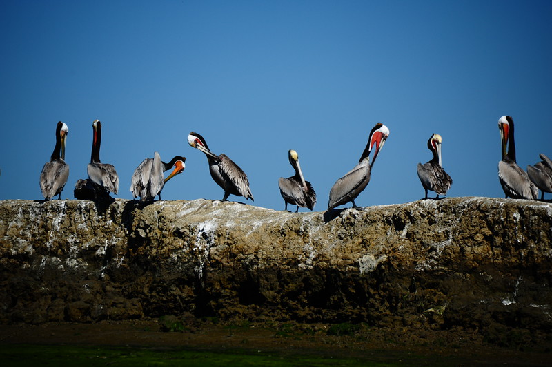 PELICANS OF THE SLOUGH