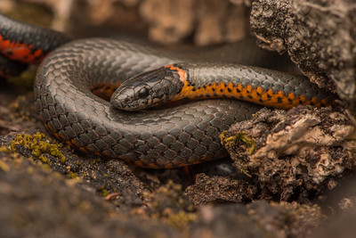 Pacific Ring-necked Snake (Diadophis punctatus amabilis), one of the 13 subspecies of Diadophi punctatus in North America and of the 7 in California.  This subspecies occurs from just north of the San Francisco Bay down to Monterey Bay.  Although there is some contention about the taxonomy and subspecies of this snake.