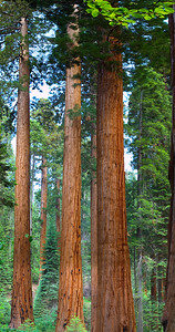 Silent Giants of Sequoia