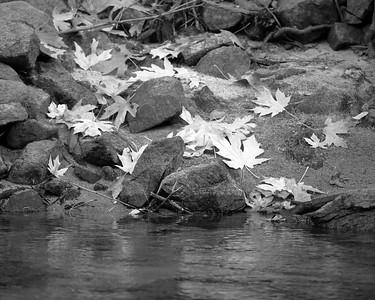 Bigleaf Maple Leaves, Mariposa County, CA