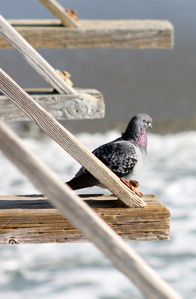 Pigeon on the Cayucos Pier