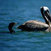 Brown Pelican and Cormorant on the move