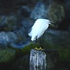 EGRET ON THE HUNT