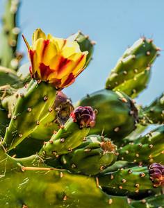 Sonoma Cactus