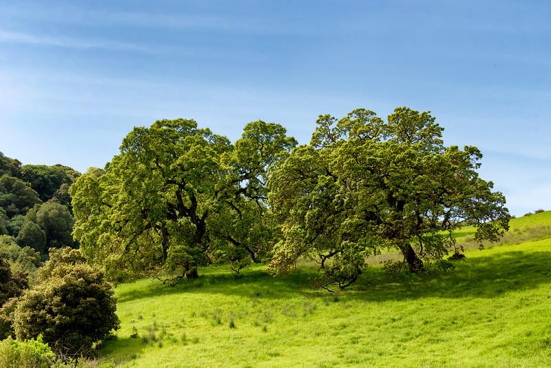 Oak Trees, San Ramon, CA