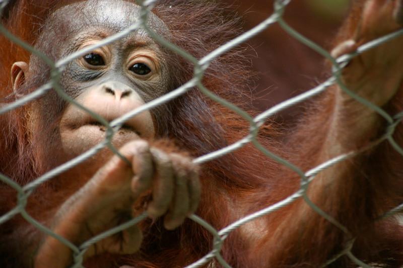 Young Orangutan San Diego Zoo