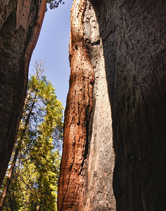 Califonian Redwood