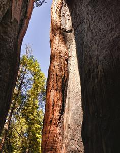 Califonian Redwood