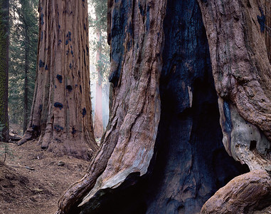 Sequoia National Park, CAL/Sequoias (Sequoia dendron giganteum) bear ancient fire scars on their trunks.  592h8